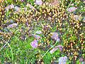 Esporofito Orthotrichum acuminatum Habitus 2012-1-08 SierraMadrona.jpg