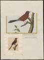 Estrilda granatina - 1700-1880 - Print - Iconographia Zoologica - Special Collections University of Amsterdam - UBA01 IZ15900133.tif