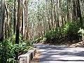 Eucalyptus Grandis Plantation, Gudalur - panoramio (2).jpg
