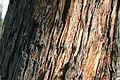 Eucalyptus obliqua 1.jpg