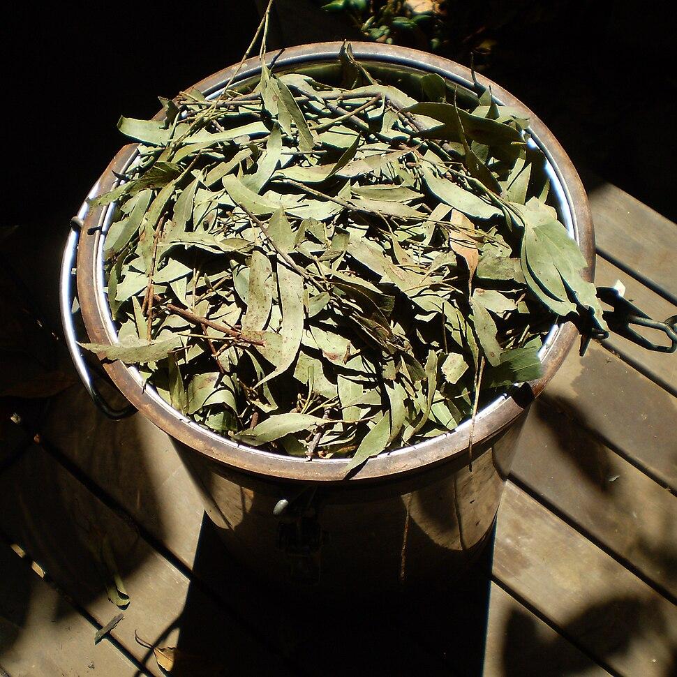 Eucalyptus olida distillation1