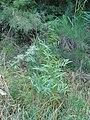 Eucalyptus viminalis Labill. (AM AK296283-1).jpg