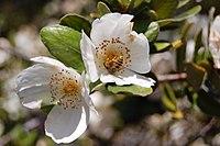 Eucryphia cordifolia Flor del ulmo (RastaChango)