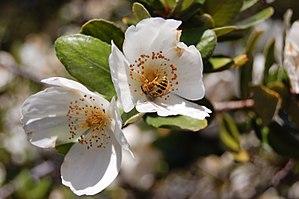 Eucryphia - Eucryphia cordifolia, South America