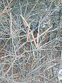 Euonymus alatus' corky stem.JPG