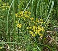 Euphorbia cyparissias4 ies.jpg
