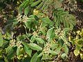 Euphorbia heterophylla L. (4666370217).jpg