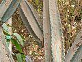 Euphorbia ingens E.Mey. ex Boiss. (423927343).jpg
