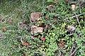 Euphorbia milii 26zz.jpg