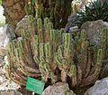 Euphorbia polyacantha2 ies.jpg