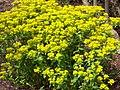 Euphorbia wallichii.jpg