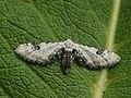 Eupithecia centaureata - Lime-speck pug - Цветочная пяденица васильковая (40902094902).jpg