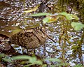 Eurasian Woodcock.jpg
