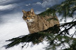 European Wildcat Nationalpark Bayerischer Wald 02.jpg
