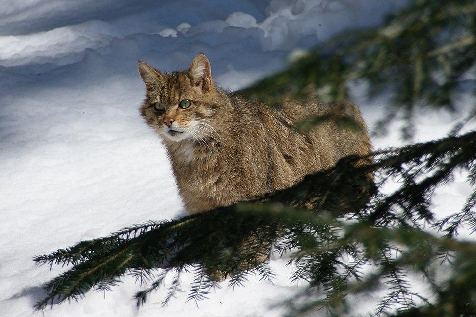 European Wildcat Nationalpark Bayerischer Wald 02