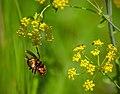 European hornet Европейски стършел — копия.jpg