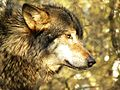 Europese Wolf (4423118300) (3).jpg