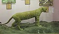 Exhibit of Leopard at Regional Museum of Natural History,Bhopal,India 2.jpg