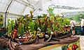 Exhibition of Carnivorous Plants Prague 2015 1.jpg