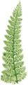 FBI-13-B Polystichum angulare tripinnatum.png