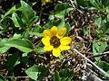 FL Marineland yellow flower01.jpg
