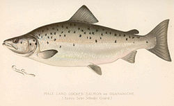FMIB 43057 Male Land Locked Salmon or Quananiche (Salmo salar sebago Girard).jpeg