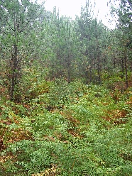 Fichier:FR-40-Landes Forest01.JPG