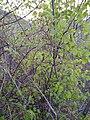 Fagus sp. (Fagaceae) 03.jpg
