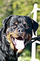 Fallen Rottweiler 15 Months.jpg