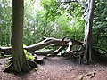 Fallen Tree, Snelsmore Common Country Park - geograph.org.uk - 35407.jpg