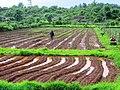 Farmers at work in Nachinola, Goa.jpg