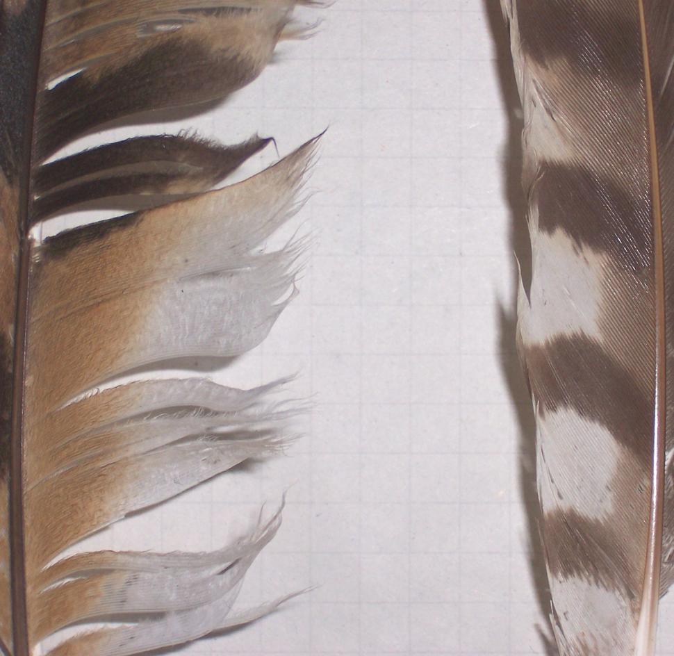 Feathers owl vs hawk