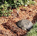 Female snapping turtle burrowing to lay eggs.jpg
