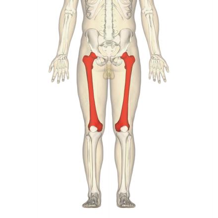Oberschenkelknochen - Wikiwand