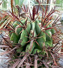 Ferocactus recurvus 2.jpg