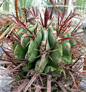 ferocactus latispinus wikimonde. Black Bedroom Furniture Sets. Home Design Ideas