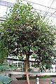 Ficus Oxidado (1) (11983287463).jpg