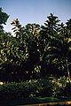 Ficus elastica WPC.jpg