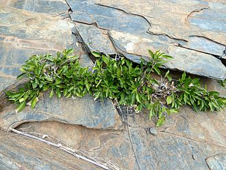 Ficus ingens - Growing from a slate fissure at Pelindaba, South Africa