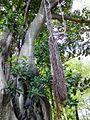 Ficus macrophylla009.jpg