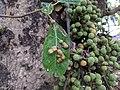 Ficus sp 6.jpg