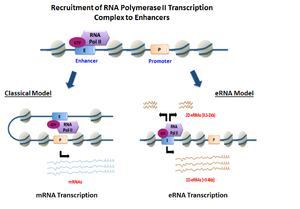 Enhancer RNA - eRNA Biogenesis