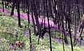 Fireweed after fire.jpg
