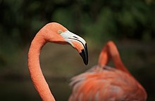 American flamingo in Colombia