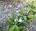 Fleur bleue 2.jpg