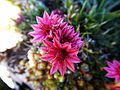 Fleur du Vercors.JPG