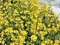 Fleur en Vanoise (1).JPG