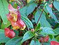 Fleurs d'un buisson parc de Bagatelle.JPG