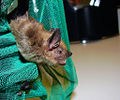 Flickr - Furryscaly - Big Brown Bat.jpg