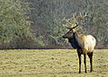 Flickr - Oregon Department of Fish & Wildlife - 2305 bull elk swart odfw.jpg